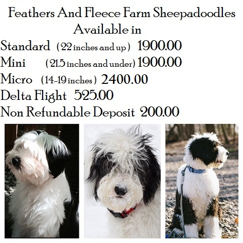 Feathers And Fleece Sheepadoodle puppies